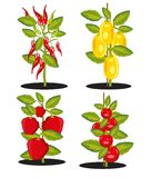Vector illustration bush with ripe vegetable harvest. Bushes with ripe tomato and pepper on white background is insulated vector illustration