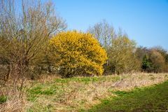 Bushes on a river bank with a hazel tree Corylus avellana in full spring bloom. A thicket in early spring, with most trees still bare and a mature hazel tree stock photo