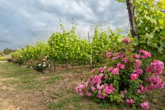 Vineyards and rose: a traditional cultivation method in Chianti. Royalty Free Stock Image