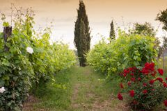 Vineyards and rose: a traditional cultivation method in Chianti. Stock Photography