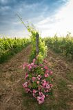Vineyards and rose: a traditional cultivation method in Chianti. Royalty Free Stock Photo
