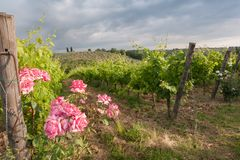 Vineyards and rose: a traditional cultivation method in Chianti. Royalty Free Stock Photography