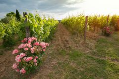 Vineyards and rose: a traditional cultivation method in Chianti. Stock Photos