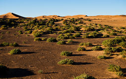 Bushes and sand dunes on the Sahara. Trip to Maroko - Sahara - Merzouga 2010 Stock Images