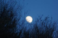 Bushes silhouette and moon Royalty Free Stock Image