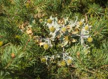 Bushes of silver thistle among pine branches on Baltic Spit stock photos