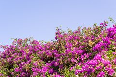 Bushes with small bright flowers of crimson color Stock Photos