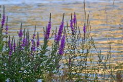 Bushes with small lilac flowers on the river Bank. stock photo