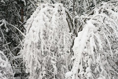 Bushes in the snow. Snow-covered trees in the winter forest Royalty Free Stock Photo