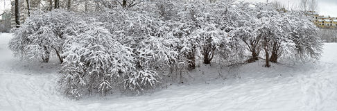 Bushes in the snow. Royalty Free Stock Photo