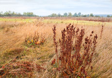 Bushes sorrel Rumex confertusa meadow in autumn. Autumn meadow with a dry grass and shrubs dried sorrel Rumex confertus on a cloudy day Stock Photos