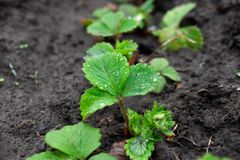 Bushes of strawberry sprouts growing in the ground. Spring sprouts of strawberry bushes in the garden. Farm planting in the garden. Bushes of strawberry sprouts royalty free stock photos