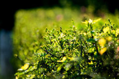 Bushes in sunlight Stock Photography