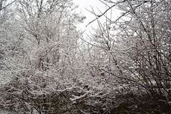 Bushes and trees are covered with snow. Royalty Free Stock Images