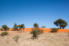 Bushes and trees in the Kalahari. Red dunes of kalahari desert, dry grass land and some bushes and trees under blue sky, Namibia, Africa royalty free stock image