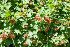 Bushes of Viburnum plant with red fruits Royalty Free Stock Photo