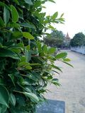 The bushes on the wall with green leaves are refreshing Royalty Free Stock Photos