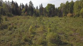 Bushes and weeds is getting sawn by worker with a gasoline saw in forest. Thinning young seedlings of pine and spruce