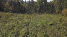 Aerial view of Bushes and weeds is getting sawn by worker with a gasoline saw in forest. Thinning young seedlings of