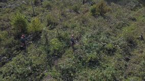 Drone shot of Bushes and weeds is getting sawn by worker with a gasoline saw in forest. Thinning young seedlings of pine