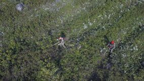 Bushes and weeds is getting sawn by workers with a gasoline saw in forest. Thinning young seedlings of pine and spruce