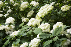 Bushes of a white hydrangea in a garden Royalty Free Stock Images