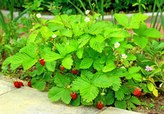 Bushes of wild strawberry Royalty Free Stock Photo
