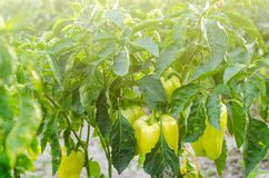 Bushes of yellow / green pepper grows in the field. vegetable rows. farming, agriculture. Landscape with agricultural land. crops royalty free stock photography