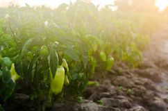 Bushes of yellow / green pepper grows in the field. vegetable rows. farming, agriculture. Landscape with agricultural land. crops royalty free stock images
