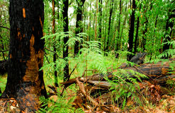 bushfire再生物 库存照片