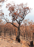 Bushfire aftermath Royalty Free Stock Photo