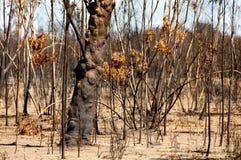 Bushfire Burnt drzewa zdjęcie royalty free
