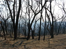 After the bushfire. Burnt gum trees on a hill Royalty Free Stock Images