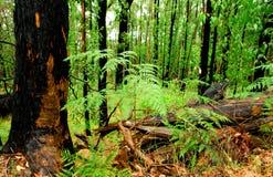 Bushfire Regrowth. A Beautiful Green Forest in Victoria, Australia Stock Photos