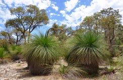 Bushland avec les arbres d'herbe épineux : Australie occidentale Photos stock