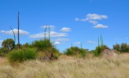 Bushland Landscape with Grasstrees in Western Australia Royalty Free Stock Photos