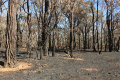 Bushland after a planned, controlled burn Royalty Free Stock Photos