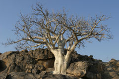 Bushland tree. Lonely tree at a little hill on a dry farmland in Namibia, Africa stock photo