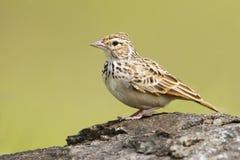 Bushlark鸟 库存图片
