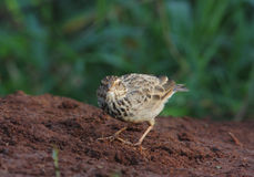 Bushlark indo-chinois Photo libre de droits
