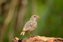 bushlark Rufo-con alas Fotos de archivo libres de regalías