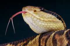 Bushmaster / Lachesis stenophrys Stock Photography