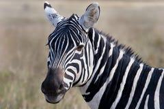bushnell zebra Obraz Royalty Free