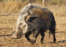 Bushpig in daytime, South Africa. Bushpig (Potamochoerus larvatus) out during the daytime, unusual for this noctural animal, South Africa stock images