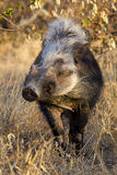 Bushpig in daytime, South Africa Royalty Free Stock Image