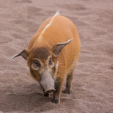 Bushpig in the zoo Stock Photography