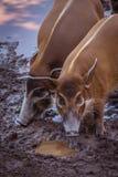Bushpigs w zoo Zdjęcia Royalty Free