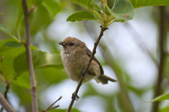 Bushtit Royalty Free Stock Photography