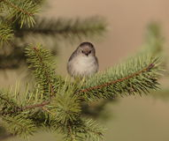 Bushtit Stock Photo
