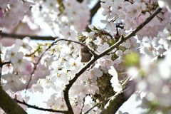 The bushtit in the cherry blossom flower bed royalty free stock photos
